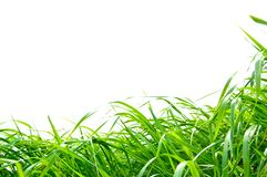 Decorative grass isolated Royalty Free Stock Photos