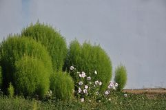 Decorative grass Royalty Free Stock Images
