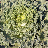 Decorative green cabbage. Close up Stock Images