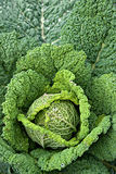 Decorative green cabbage Stock Photo