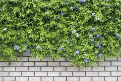 Decorative green garden on a brick wall Stock Photography