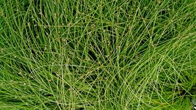 Decorative green grass background and texture. Ornamental grass image for use as background texture or wallpaper Stock Image
