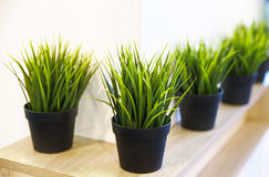 Decorative green grass house plants in pots on a wooden shelf Royalty Free Stock Image