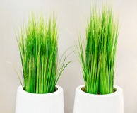 Decorative green grass in white vases Stock Photos