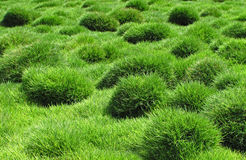 Decorative green grass, Zoysia tenuifolia Royalty Free Stock Image