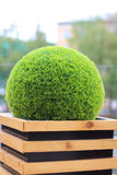 Decorative green shrub in form of ball in wooden flowerpot Royalty Free Stock Photography