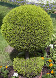 Decorative green shrub in shape of ball Royalty Free Stock Image