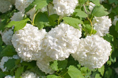 Decorative guelder-rose. Stock Images