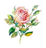 Decorative hand painting of rose isolated on white background stock images