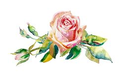 Decorative hand painting of rose isolated on white background royalty free stock images