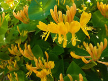 Decorative honeysuckle. So the bush of decorative honeysuckle blooms Stock Photos