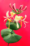Decorative honeysuckle. Decorative honeysuckle on a red background grows in the summer royalty free stock images