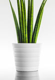 Decorative house plant - Sansevieria cylindrica Royalty Free Stock Images