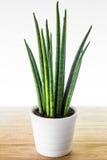 Decorative house plant - Sansevieria cylindrica Royalty Free Stock Image