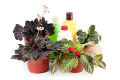 Decorative houseplant and means for the care of flowers. Royalty Free Stock Photo