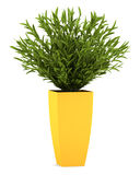 Decorative houseplant in yellow pot isolated Royalty Free Stock Image