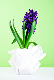 Decorative hyacinth blossom Royalty Free Stock Images