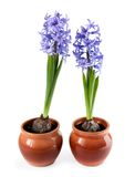 Decorative hyacinths Stock Image