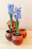 Decorative hyacinths Royalty Free Stock Images