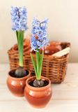 Decorative hyacinths Stock Photo