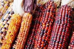 Decorative Indian corn with colorful kernels Stock Photo