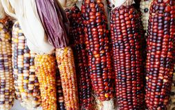 Decorative Indian corn with colorful kernels Stock Photography