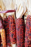 Decorative Indian corn with colorful kernels Royalty Free Stock Photos