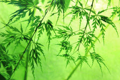 Decorative japanese acer, back lighted Royalty Free Stock Photo