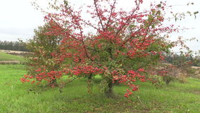 Decorative Japanese apple tree with fruits in botanical garden. stock video