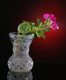 Decorative kalanchoe. On a dark red background stock images