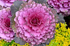 Decorative kale cabbage Stock Photos