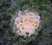 Decorative Kale in Detroit Stock Photography