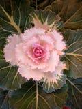 Decorative kale Royalty Free Stock Images