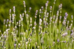 Decorative lavender Lavandula bush in a home garden stock image