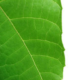 Decorative leaf of Abroma Augusta Royalty Free Stock Images
