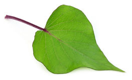 Decorative leaf of sweet potato Royalty Free Stock Images