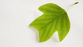 Decorative leaf of an tulip tree (1). A green and decorative leaf of an tulip tree also called, American tulip tree, tuliptree, tulip poplar, yellow poplar on Stock Photo