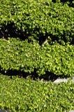 Decorative leafy green tree Royalty Free Stock Photos