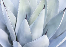 Decorative leaves on Aloe Vera plant. Mallorca, Balearic islands, Spain Royalty Free Stock Photo