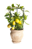 Decorative lemon tree Stock Image
