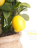 Decorative lemon tree Royalty Free Stock Image