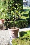 Decorative lemon tree in Giusti Garden in Verona Royalty Free Stock Images