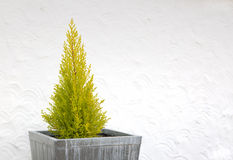 Decorative Leylandii Tree In A Square Tub Stock Images