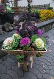 Decorative lilac cabbage from which the flower arrangement is made royalty free stock photo