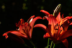 Decorative lily. Cultivated flower. Stock Photography