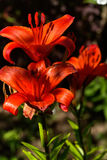 Decorative lily. Cultivated flower. Royalty Free Stock Images