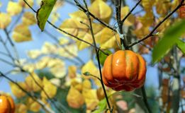 Decorative little pumpkin on a tree branch royalty free stock photo