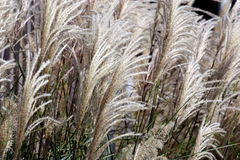 Decorative Long Grass Royalty Free Stock Photos