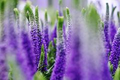 Decorative lupin flowers, violet blue colors, close up Royalty Free Stock Photography