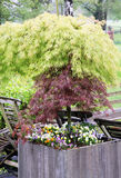 Decorative maple trees in pots Stock Images